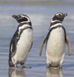 cemiya-pingvinov