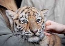 bratctvo-tigra
